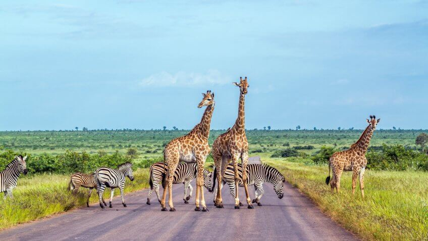 giraffe and zebra crossing the road in the plains