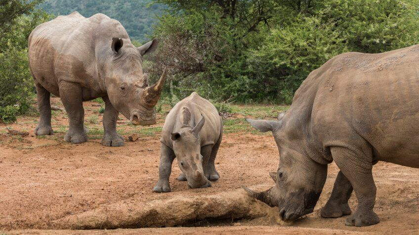 a family of rhinos