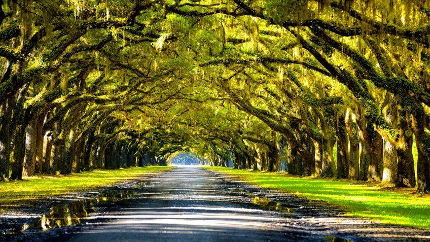 Louisiana oak trees