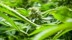 Tilray Marijuana Completes Wild Day of Trading