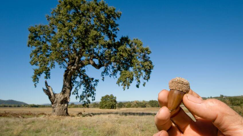 An acorn and a Valley Oak, California.