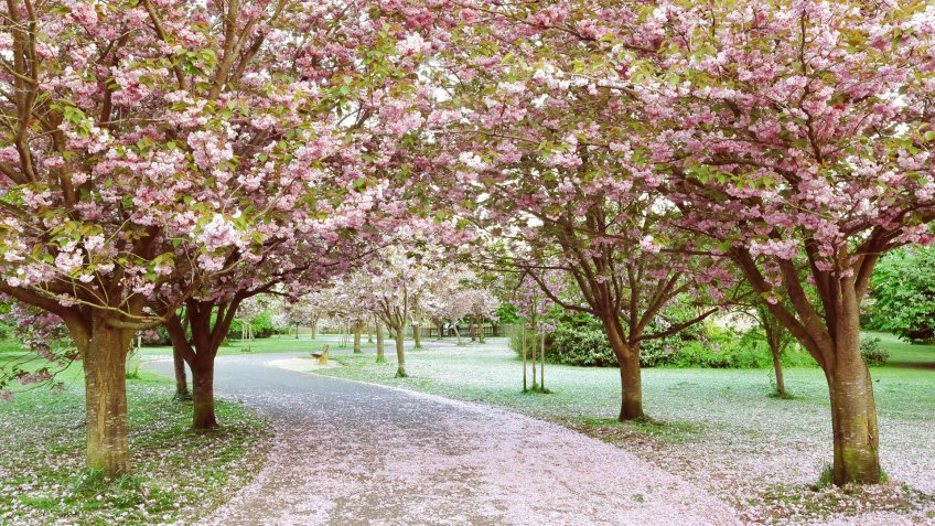 Winding Cherry Blossom Lined Pathway in a Beautiful Landscape Garden.