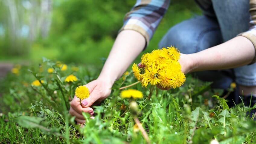 Woman takes dandelion flowers in a meadow.