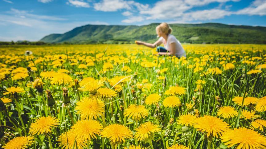 picking dandelions from field
