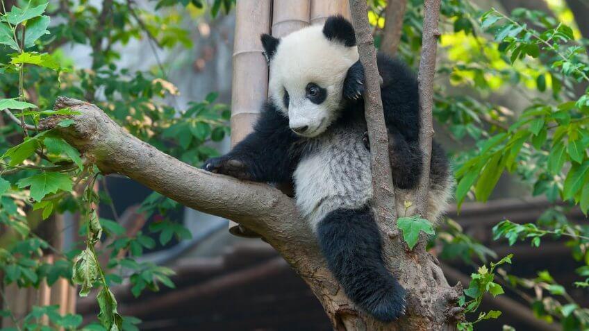 Young panda bear in tree