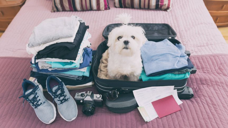 Small dog maltese sitting in the suitcase or bag wearing sunglasses and waiting for a trip.