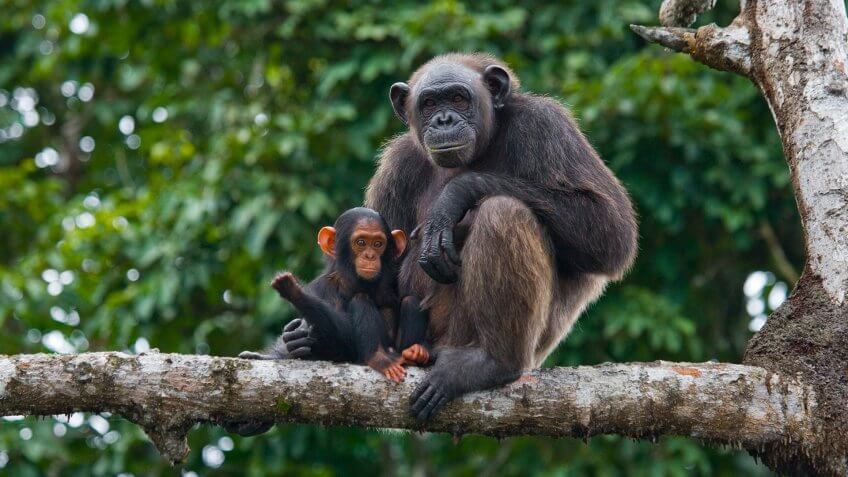 A female chimpanzee with a baby on mangrove trees.