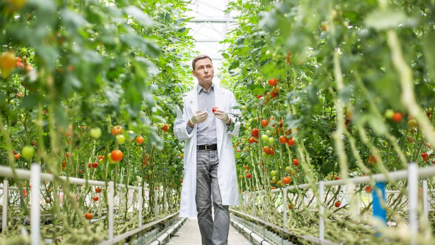 Food scientist inspecting tomatoes on plants in greenhouse.