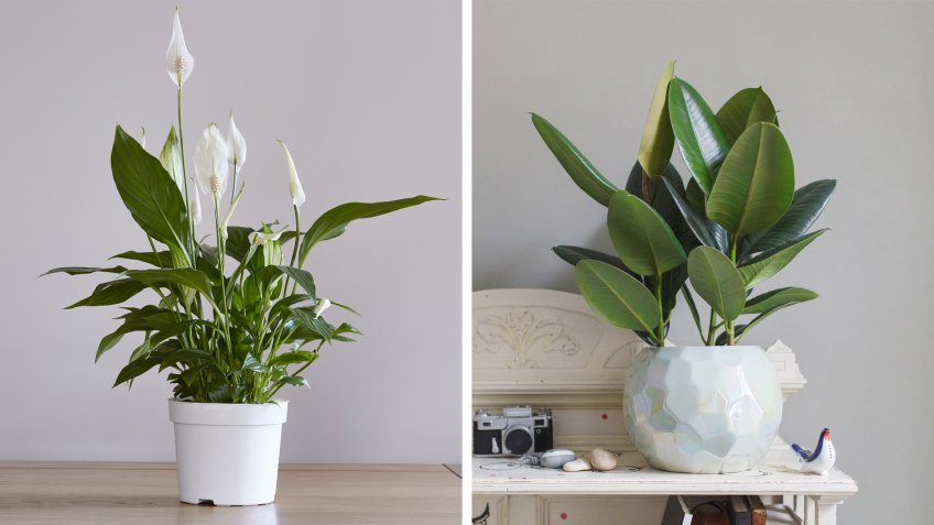 peace lily and rubber plant
