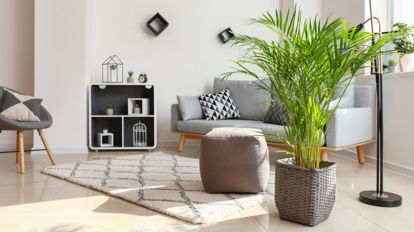 Decorative Areca palm in interior of room - Image.