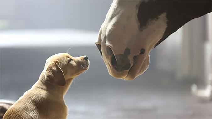 Budweiser puppy and horse.