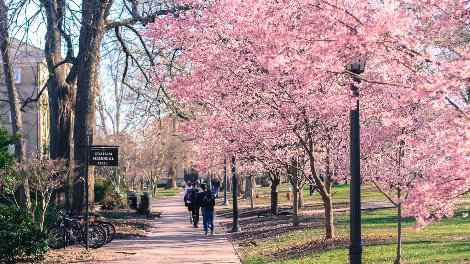 The cherry blossoms at the start of spring on UNC-Chapel Hill's campus.
