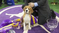 Here's Exactly How Much It Costs to Own a Westminster Show Dog