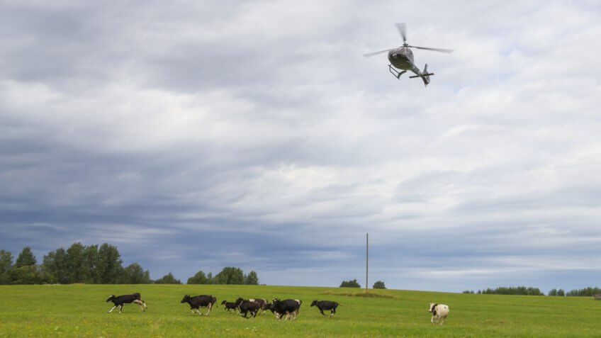 helicopter over a field with cows