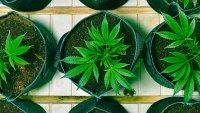 Kamala Harris Backs Marijuana Legalization — Should Investors Make the Leap?