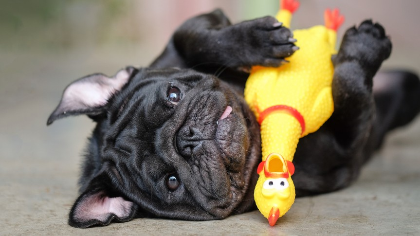 Funny pug dog lying on concrete road with yellow chicken toy.