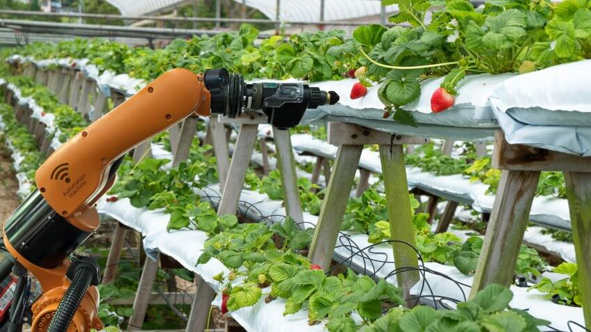 robot arm harvesting strawberries