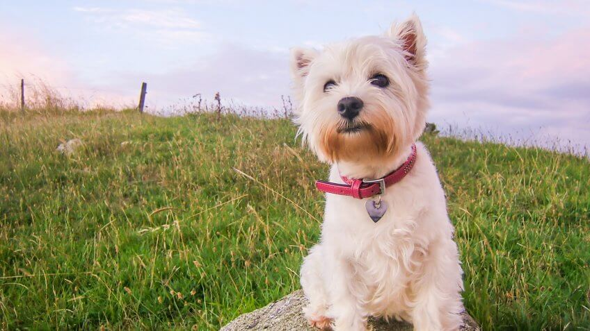 Cute high key portrait of a west highland white terrier dog at dusk sitting on a rock in a field in New Zealand, NZ.