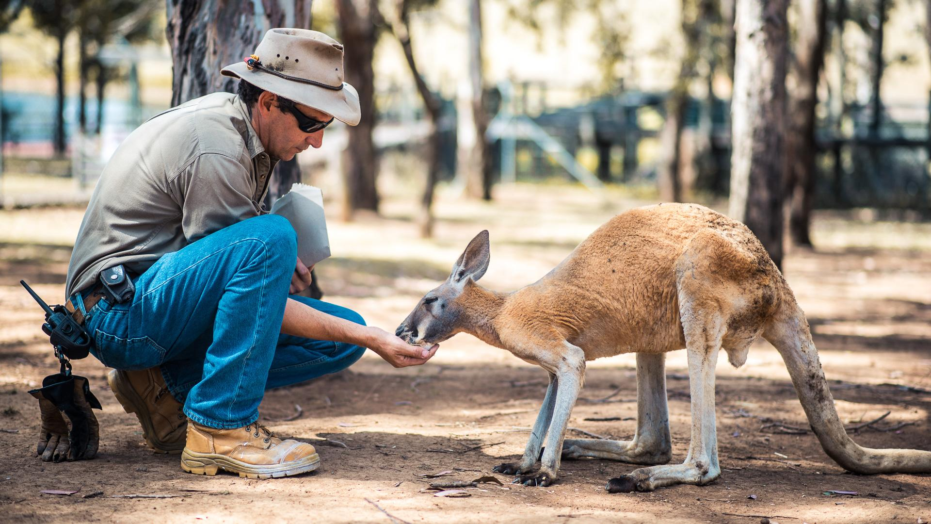 Kangaroo is eating out of a zoo keeper's hand.