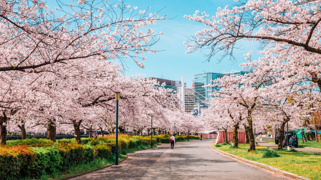 Cherry blossoms road in Kema Sakuranomiya Park, Osaka, Japan