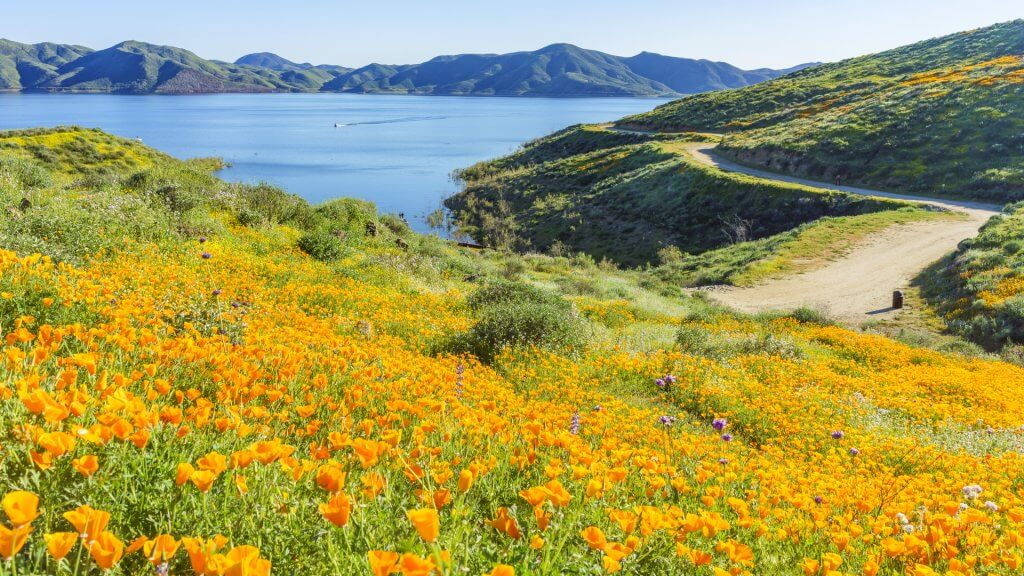 Lots of wild flower blossom (poppy) at Diamond Valley Lake, California