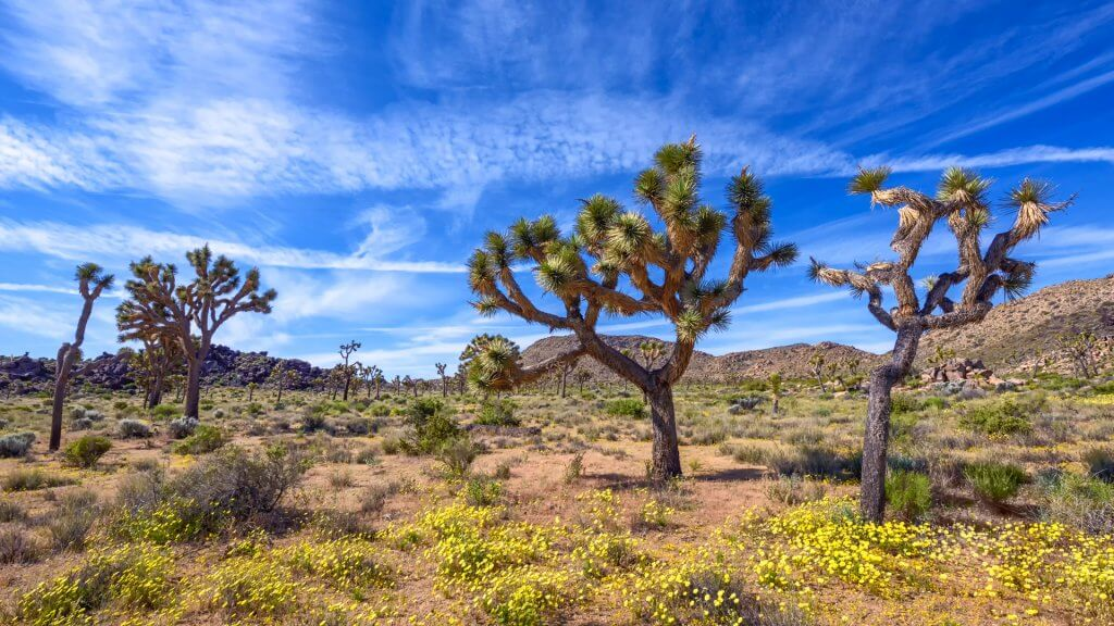 Wild flower blooming in Joshua Tree National Park