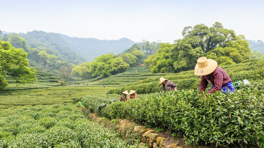 Hangzhou, China - on April 4, 2015: Women picking fresh tea in the tea garden, west lake longjing tea, one of China top ten famous tea.