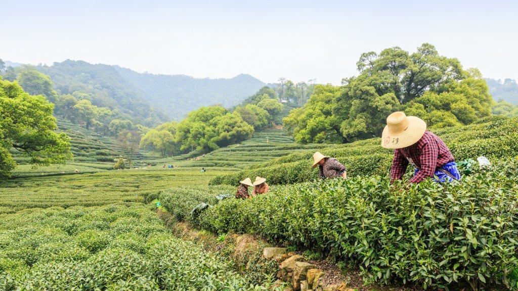 Hangzhou, China - on April 4, 2015: Women picking fresh tea in the tea garden, west lake longjing tea, one of China top ten famous tea.