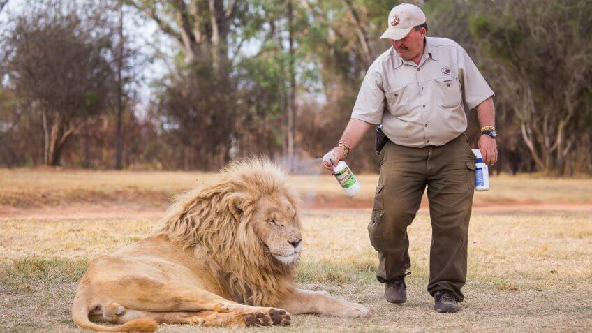 superintendent spraying lion with water