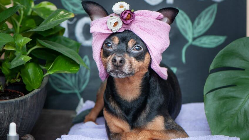 Massage and spa, a dog in a turban of a towel among the spa care items and plants.