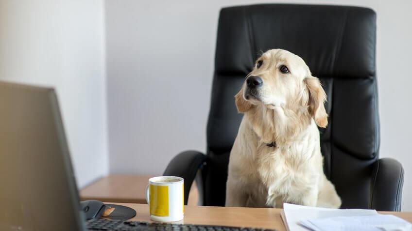 Labrador dog in black office chair