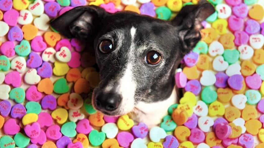 italian greyhound dog surrounded by candy hearts for Valentines Day.