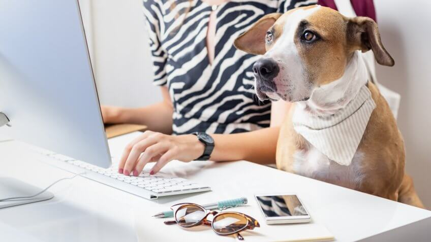 Staffordshire terrier sits in office chair at a modern working place.