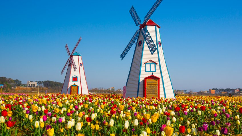 Holland Michigan tulip fields