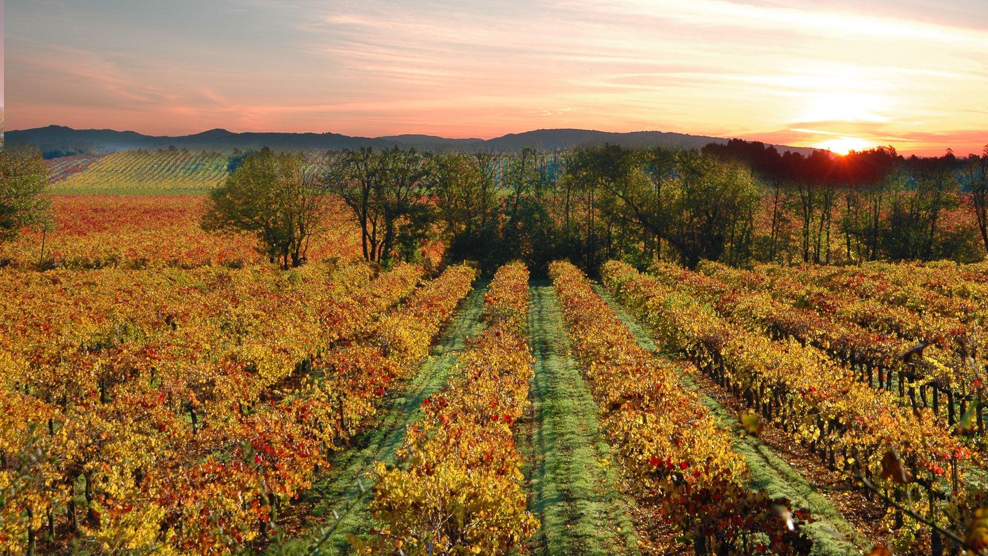 Sonoma California Vineyards Near Sebastopol California
