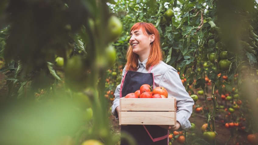 Happy Woman Picking Ripe Tomatoes In Greenhouse.