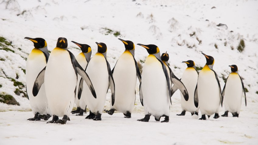 A group of majestic King Penguins walking together to the main colony at South Georgia near Antarctica.