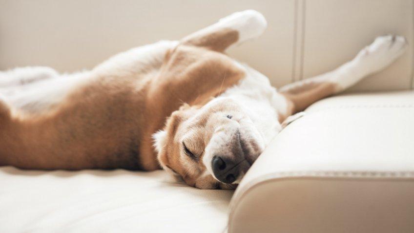 sleeping beagle on sofa bed
