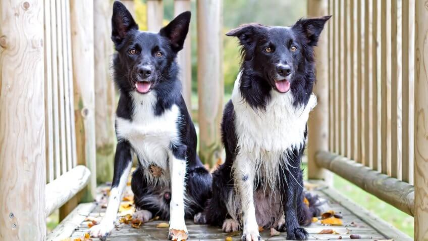 Border collies posing in playfiled.