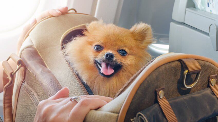 small dog pomaranian spitz in a travel bag on board of plane.