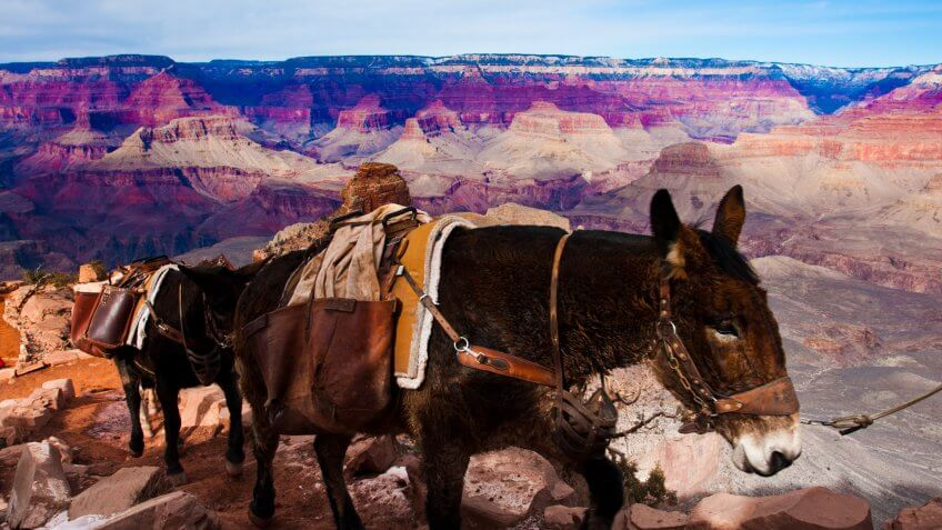 Mule in Grand Canyon