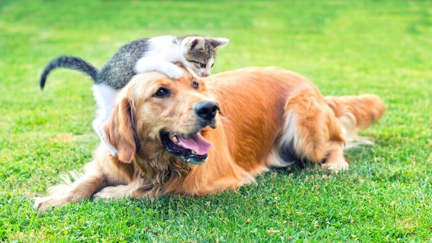 Domestic cat and golden retriever in grass at home.