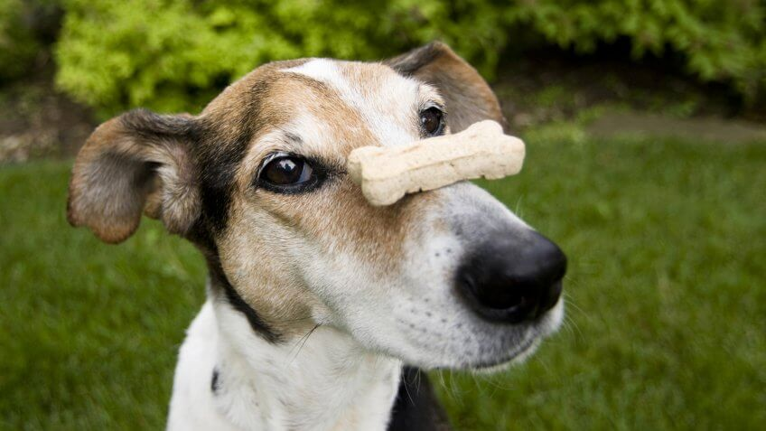Beagle mix balancing dog bone on nose, concept for patience, waiting.