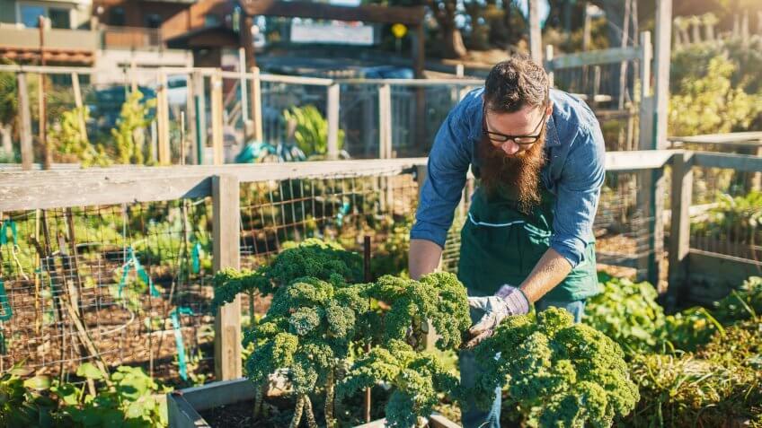 man picking vegetables in community garden