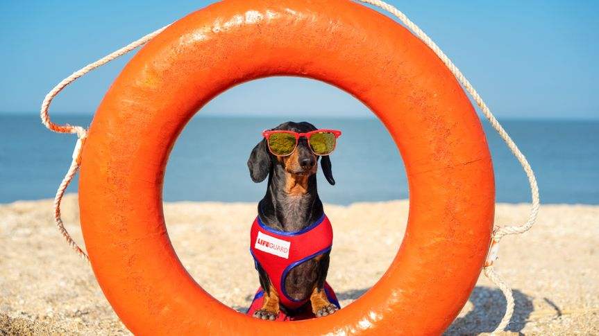 A dog Dachshund breed, black and tan, in a red blue suit of a lifeguard and red sunglasses, sits on orange lifebuoy,  a sandy beach against the sea.