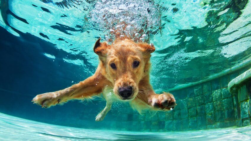 Underwater funny photo of golden labrador retriever puppy in swimming pool play with fun - jumping, diving deep down.