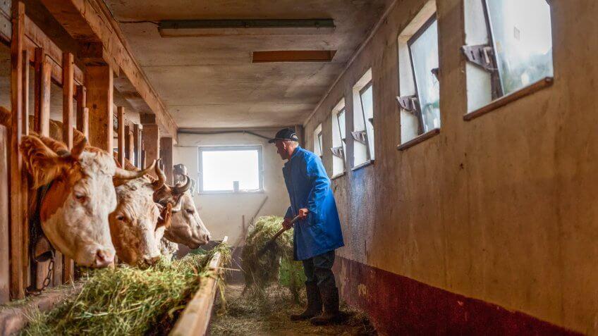 farmer feeding Simmental cattle cows in barn on organic farm, Switzerland.