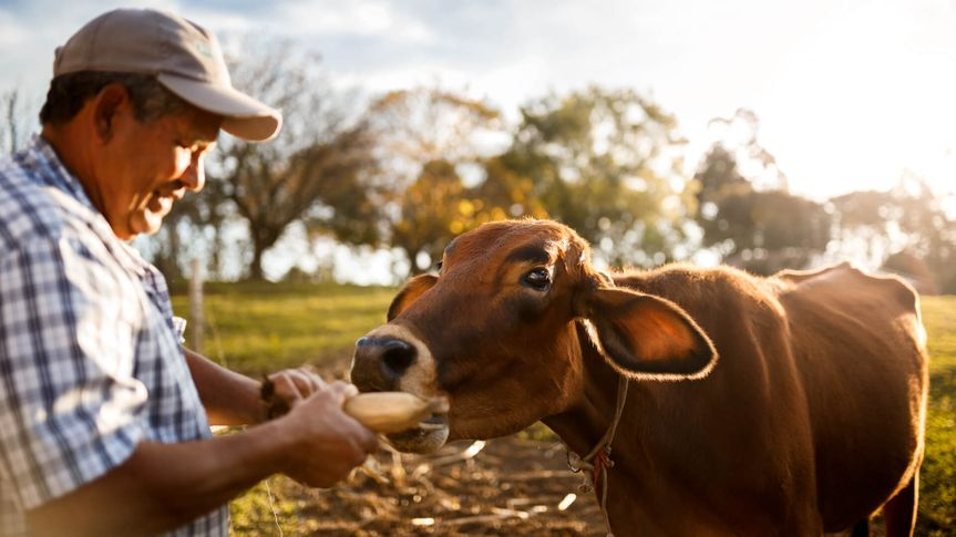 A brown cow being fed by farmer in a natural rural scene of an organic livestock.