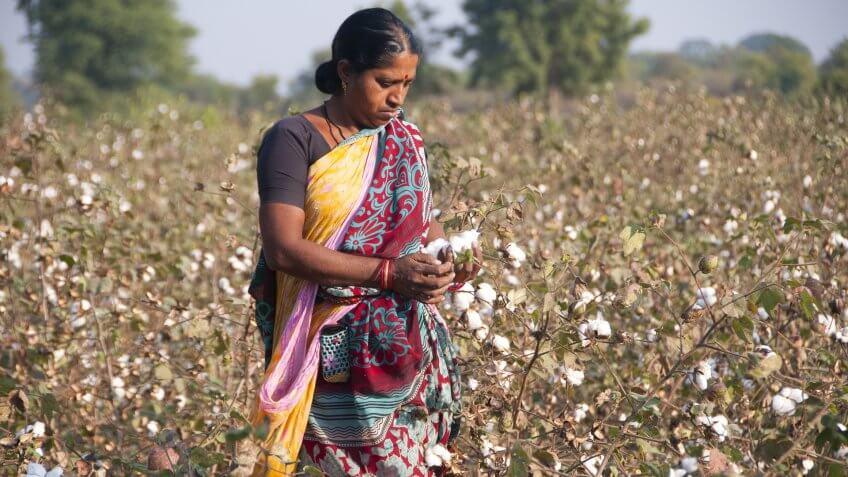 India cotton farmer in field
