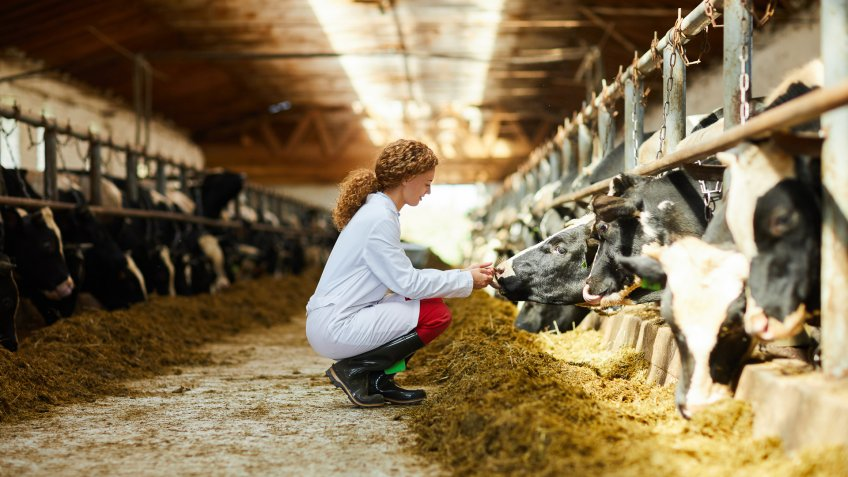 Side view portrait of cute female veterinarian caring for cows sitting down in sunlit barn, copy space.